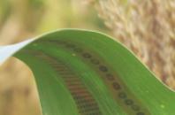 石墨烯传感器可测量作物用水的情况