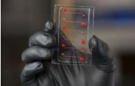 血管芯片可协助验证抗发炎化合物作用与成效