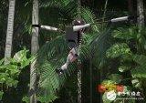 学习大猩猩的行动方式在丛林里迅速穿梭的机器人