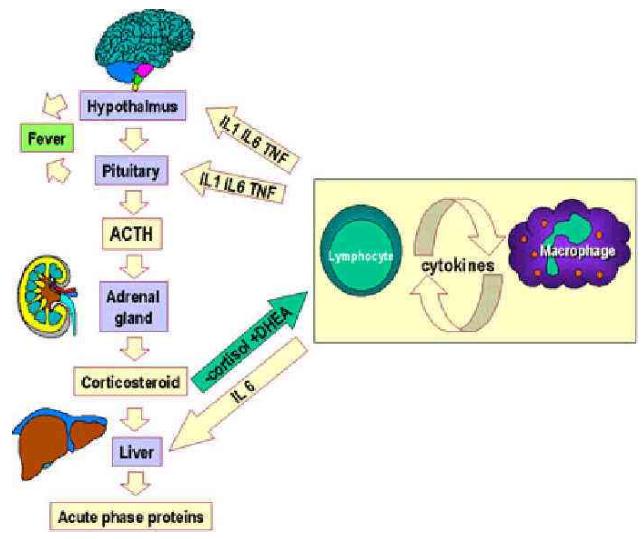 慢性感染问题的新解决办法:免疫系统