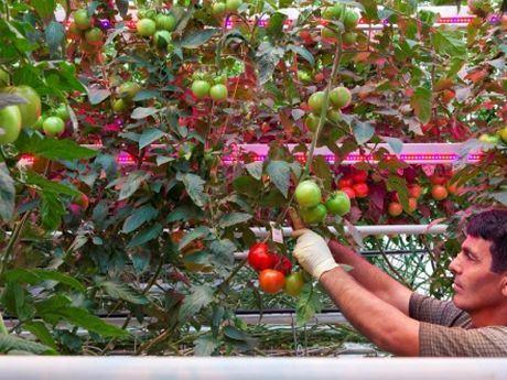 GE宣布新LED照明垂直农场项目落户英国,将包括5120平方米的种植面积,每年将生产420公吨绿叶蔬菜