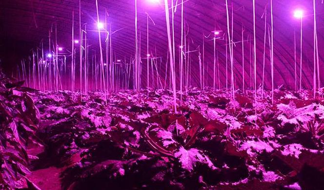 爱盛生物科技展示其全自动气雾培植物生长系统,已种...