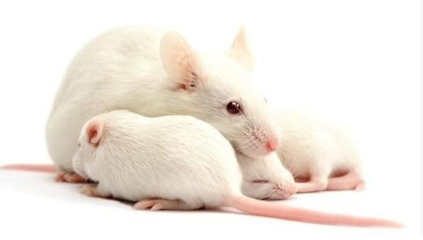 研究由小鼠神经元制成的模拟大脑,拥有嗅觉及能识别爆炸物