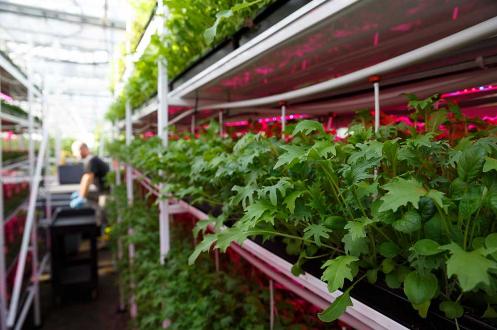 Current引进LED照明系统来改造植物工厂,幼苗生产速度将增加15%