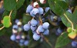 农业物联网和大数据助力联想佳沃曲靖打造高端蓝莓产业链集群