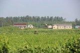 杂交水稻制种进入关键阶段,植保无人机助力进行空中喷洒赤霉素