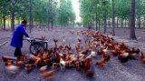 区块链技术竟然还能应用于农业领域进行养鸡