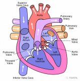 使用COMSOL Multiphysics® 软件对心脏瓣膜的开合进行了模拟