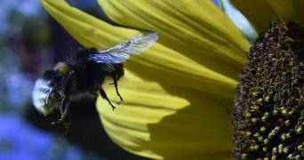 美国研究人员利用RFID观察分析大黄蜂的采集模式