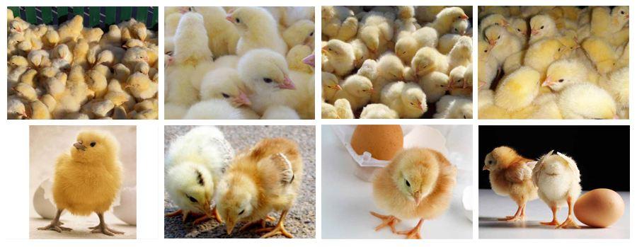 CO2传感器在小鸡孵化箱中的应用解决方案