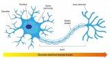 人工神经网络和生物神经网络到底有多像