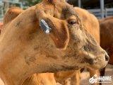 国外开发出一种智能耳标 可对奶牛位置和异常状况进行监测