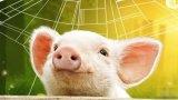 为什么中国的科技巨头都爱上了养猪?