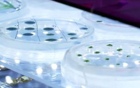 新型藻类获将为汽车提供氢气