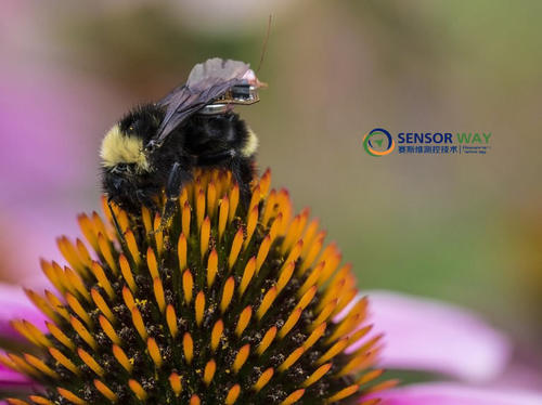 Gollakota希望在大黃蜂的背后裝傳感器來觀察農作物的健康狀況