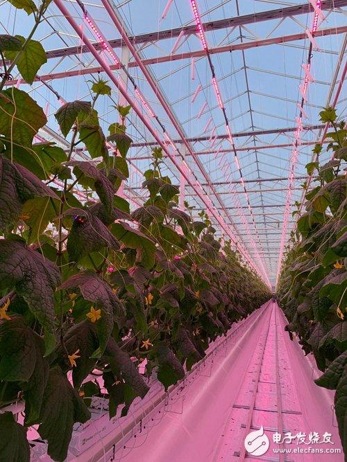 两家法国蔬菜种植商使用昕诺飞的LED园艺照明灯 将助力全年培植黄瓜