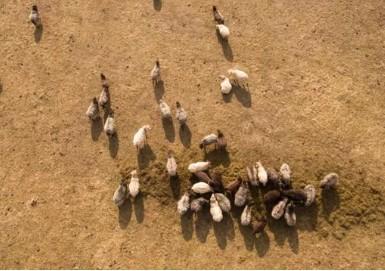 无人机助新西兰农民放牧