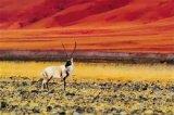 首次将太阳能无人机应用到藏羚羊保护