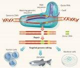 单碱基基因编辑存在脱靶效应,会导致RNA突变