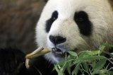 """动物也能""""人脸识别""""了?只需一扫,智能识别卖萌大熊猫"""