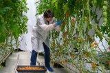 欧司朗旗下Fluence试验分析了全光谱LED植物照明方案的可行性