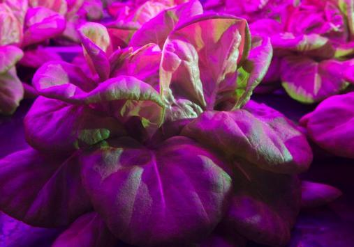 比利时一家LED室内栽培公司正在利用LED光源进行农作物植物培养