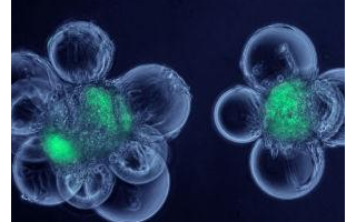科学家使用超声波技术来检测活细胞中的活性基因