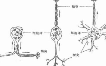 研究表明神经元可以根据明确定义的方向传输电信号