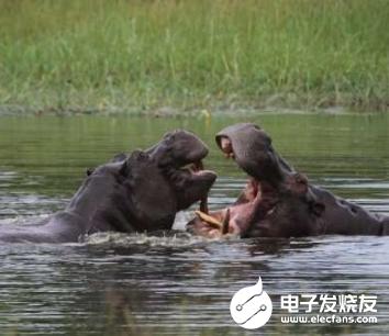 無人機監視河馬 助力保護瀕臨滅絕的動物