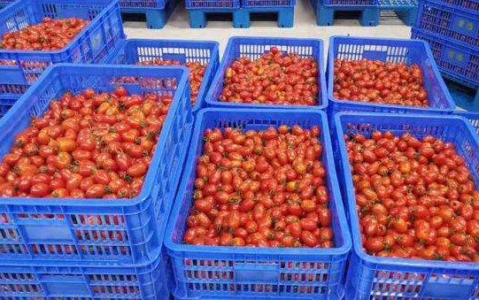 """物联网种出""""网红小番茄"""""""