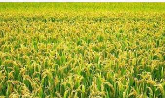 智慧水稻种植管理系统设计方案解读