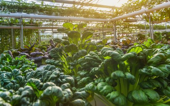 利用智能大棚控制系统来种植蔬菜,它的优势是什么