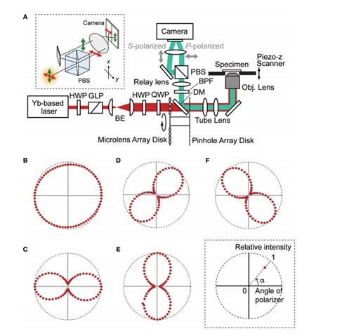 SHG 圖像可以通過傳統的雙光子激發熒光顯微鏡(TPM)獲得?