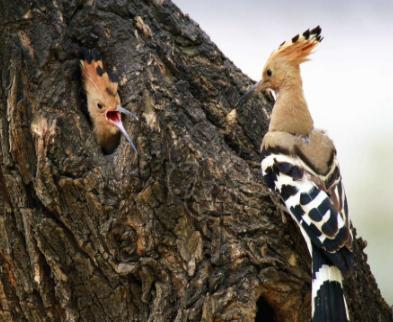 科学家利用RFID追踪啄木鸟,收集有关权利斗争的...