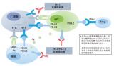 特瑞普利单抗成为首个美国FDA突破性疗法认定的国产抗PD-1单抗
