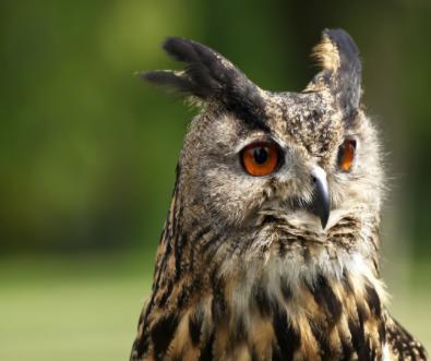 以猫头鹰为例,科学家有望研发低噪音机翼
