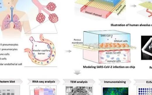 中科院利用器官芯片技术模拟新冠病毒感染诱发肺损伤和免疫反应等