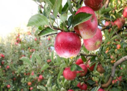 德国研发用于修建果树的农业机器人
