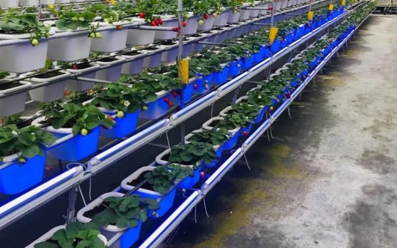 亿光研发出能够有效促进草莓果实鲜红的特殊波段,转红比率增加30%