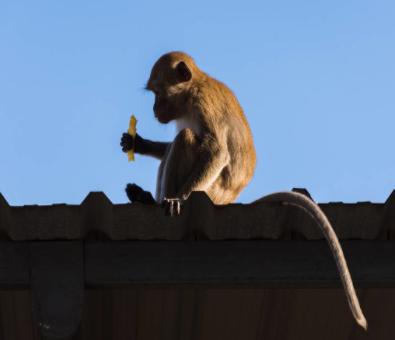 我国正在研发猴脸识别技术来识别金丝猴