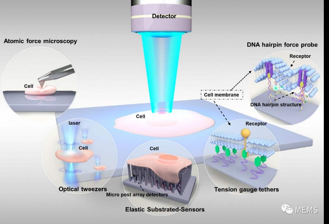 一种基于荧光共振能量转移 (FRET) 的分子张力传感器