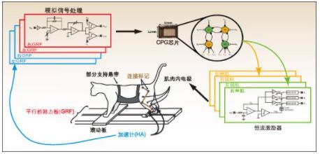 基于模拟CPG芯片在受损脊髓中的有效应用方案