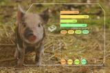 從耳朵識情緒,你養的豬感受到壓力了嗎?