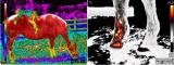 FLIR红外热像仪助力畜牧业高质量发展